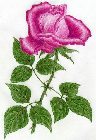 Colour pencil done rose drawing tattoo